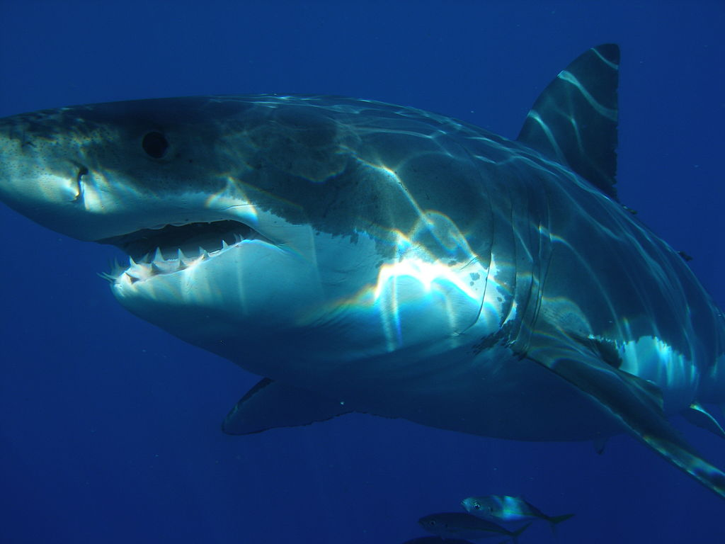 Sharks-World.com says great white sharks can grow up to 16 feet and weight around 1,500-2,400 pounds. Some have been known to weigh around 4,000 pounds but that isn't the norm. More people have been attacked by great white sharks than any other shark species. Locations where they are living have been identified and people are encouraged to stay away from them.
