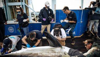 OCEARCH Ulysse-Nardin shark